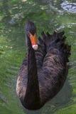 Элегантный черный лебедь Стоковые Фотографии RF