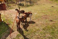 Электрический обнести выгон Овцы и козы размножения на ферме Стоковые Изображения