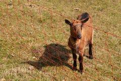 Электрический обнести выгон Овцы и козы размножения на ферме Стоковое Фото