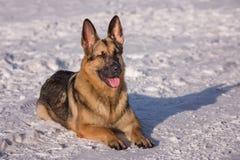 Эльзасская собака на замороженном озере Стоковое Изображение