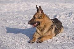 Эльзасская собака на замороженном озере Стоковая Фотография