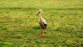 Эльзасский пеликан стоковое изображение rf