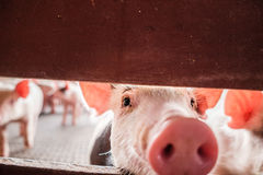 любознательная свинья Стоковые Изображения