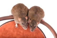 любознательние крысы 2 Стоковое Изображение RF