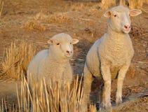 любознательние овцы стоковое фото rf