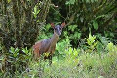 любознательние олени Стоковая Фотография RF