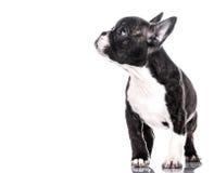 любознательний щенок Стоковое фото RF