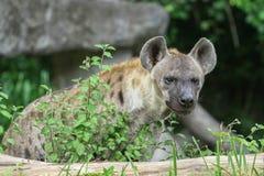 любознательний hyena Стоковые Фотографии RF