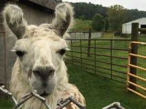 любознательний llama Стоковая Фотография