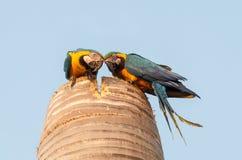 2 любознательных ары в их гнезде сделанном на верхней части кокосовой пальмы Стоковые Фотографии RF