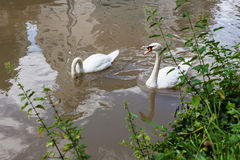 2 любознательных лебедя в реке города Стоковые Изображения RF