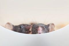2 любознательных mouses Стоковые Изображения