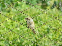 Ювенильная птица Стоковое Изображение