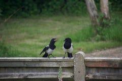 Ювенильная сорока squawking на своем родителе, стоя, что на обнести забором сельскую местность стоковая фотография rf