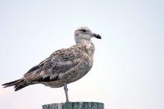 ювенильная чайка Стоковые Фотографии RF
