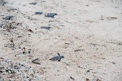 Ювенильная черепаха зеленого моря Стоковая Фотография