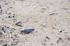 Ювенильная черепаха зеленого моря Стоковые Фотографии RF