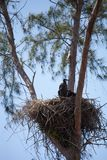 Ювенильное leucocephalus Haliaeetus птиц белоголового орлана Стоковые Фото