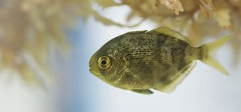 Ювенильные рыбы голавля Стоковое фото RF