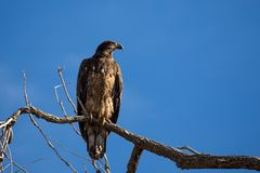 Ювенильный белоголовый орлан в дереве Стоковое Изображение RF
