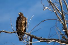 Ювенильный белоголовый орлан в дереве Стоковое Фото