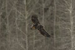 Ювенильный белоголовый орлан в полете в средний воздух Стоковые Фотографии RF
