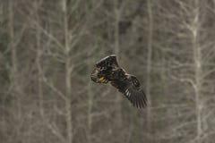 Ювенильный белоголовый орлан в полете в средний воздух Стоковые Изображения
