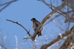 Ювенильный белоголовый орлан на ветви Стоковая Фотография