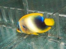 Ювенильный западно-африканский Angelfish стоковые фотографии rf