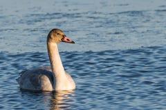 Ювенильный лебедь тундры Стоковое Изображение