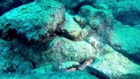 Ювенильный морской окунь в Средиземном море, Мальте акции видеоматериалы