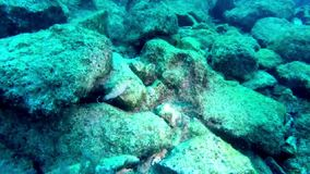 Ювенильный морской окунь плавает около своего логова в Средиземном море, Мальте акции видеоматериалы