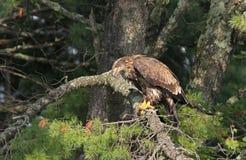 Ювенильный облыселый орел в яркой солнечности Стоковое Изображение
