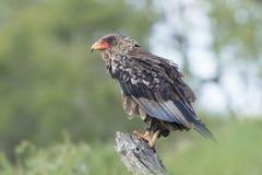 Ювенильный орел Bateleur (ecaudatus) Terathopius Южно-Африканская РеспублЍ стоковые изображения