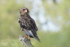 Ювенильный орел Bateleur (ecaudatus) Terathopius Южно-Африканская РеспублЍ стоковое изображение