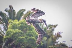 Ювенильный пеликан в полете, соль Punta, Гондурас Стоковое фото RF