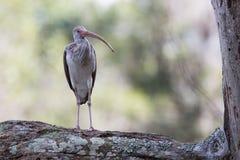Ювенильный Ibis Стоковые Фото