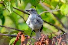 ювенильный mockingbird северный Стоковое фото RF