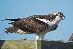 ювенильный osprey Стоковое Изображение RF