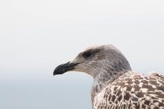 Ювенильная большая поддерживаемая Черно чайка Стоковая Фотография