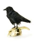 Ювенильная ворона на черепе козочки Стоковые Изображения RF