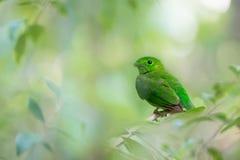 Ювенильная зеленая птица стоковая фотография