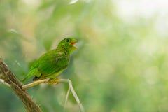Ювенильная зеленая птица Стоковые Изображения