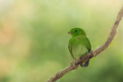 Ювенильная зеленая птица стоковое изображение