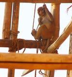 Ювенильная макака резуса имея потеху с веревочкой в рте Стоковые Фото