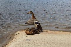 Ювенильная утка кряквы хлопая свои крыла Стоковое фото RF