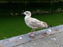 Ювенильная чайка моря чайки сельдей Стоковое Фото