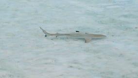 Ювенильное заплывание акулы рифа blacktip в отмелом пляже акции видеоматериалы