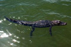 Ювенильное заплывание аллигатора в пруде на Hilton Head Island Южной Каролине Стоковые Фото