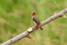 Ювенильное мужское красное Avadavat Стоковое Изображение